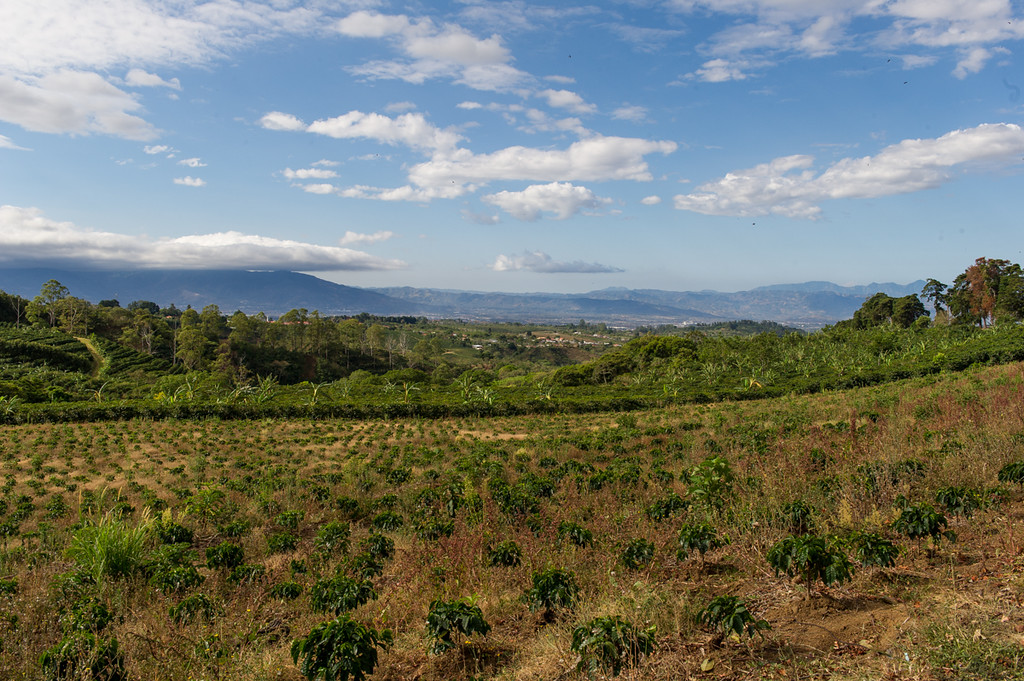 Coffee fields are everywhere..