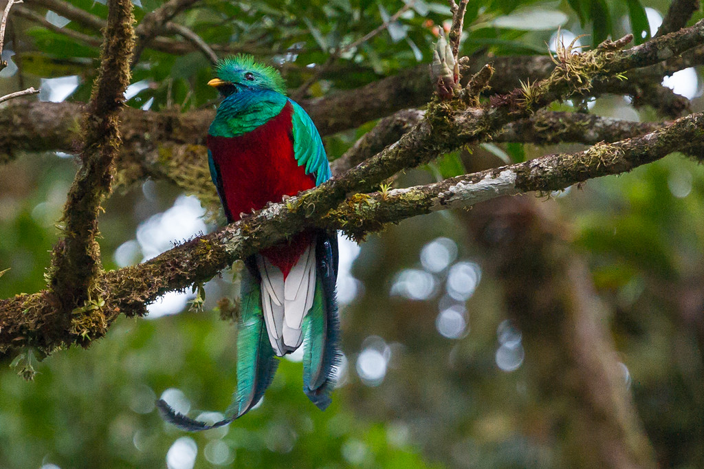 Gorgeous and pretty rare bird, a quetzal. Taken early in the morning, not good light.
