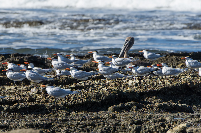 Group of terns heading into the wind.