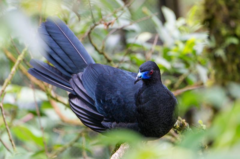 Black guan.