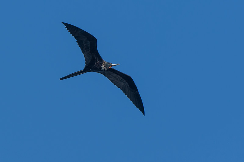 Frigate bird. There were a couple of these flying around at high altitude...never saw them land.