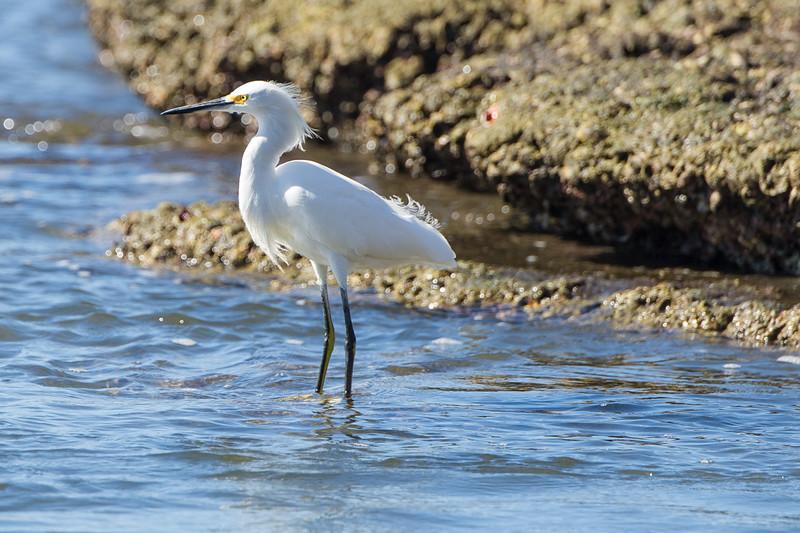 Solitary egret.