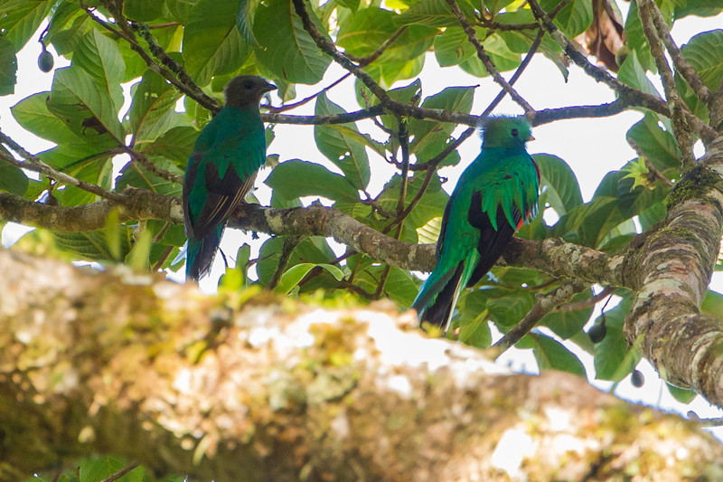 A pair of quetzals up in a tree..