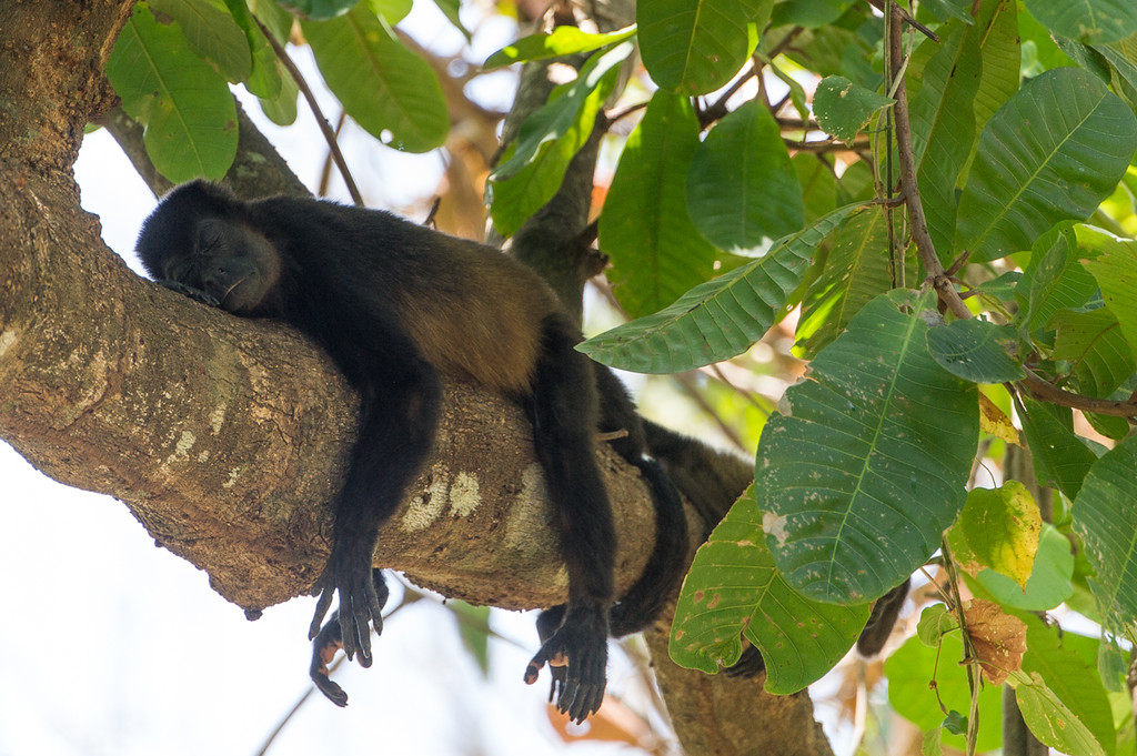 Howler monkey outside the Tibu rescue.