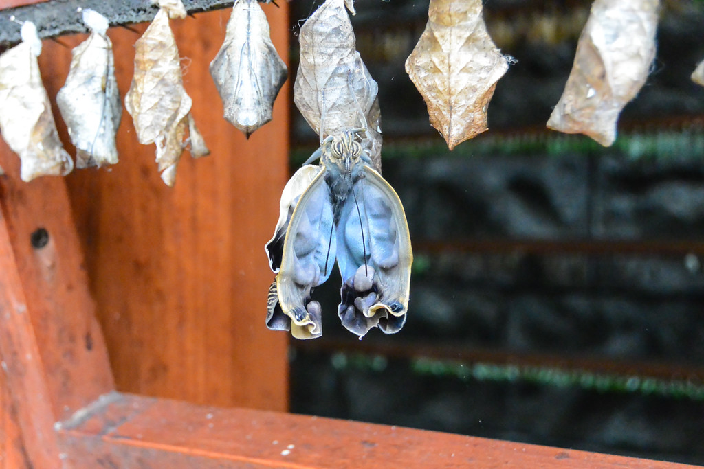 These are butterflies hatching. They unfold their wings and off they go.