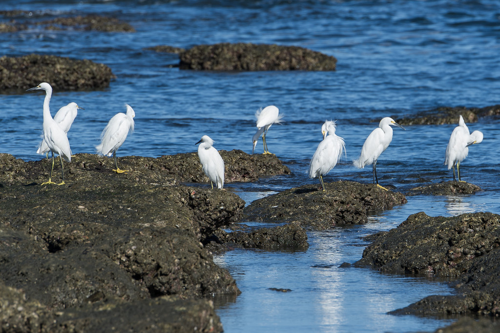 Group of egrets..
