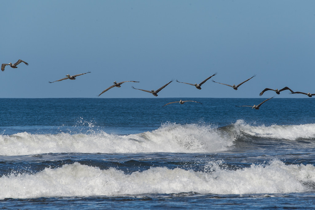 The pelicans were amazing, and there were tons of them at the beach.