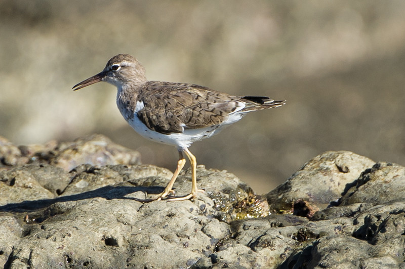 Spotted sandpiper.