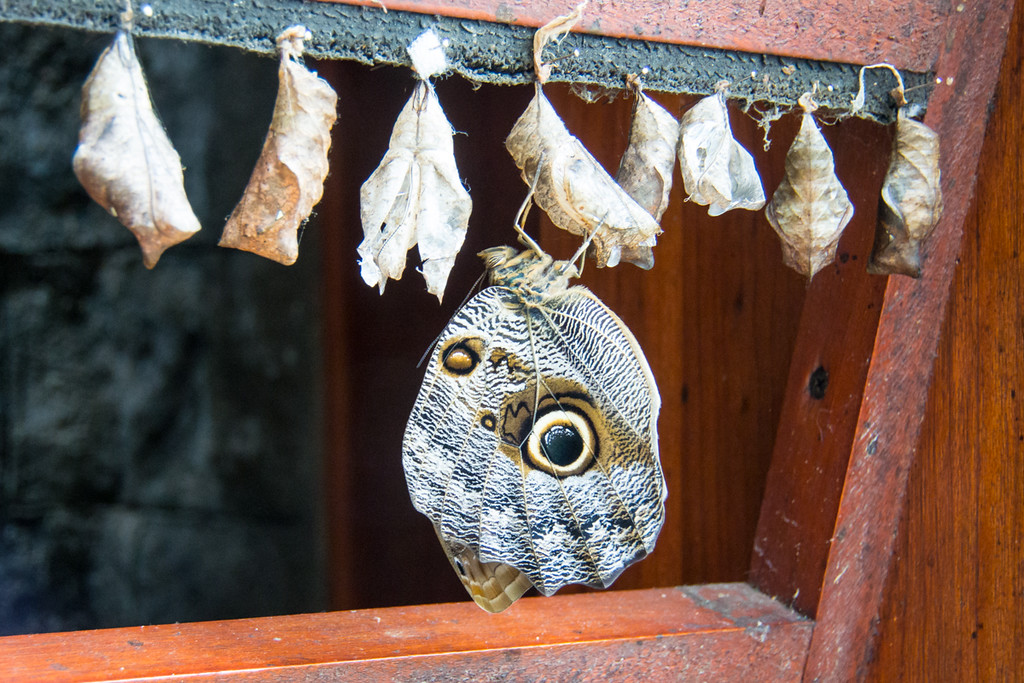 This is what it looks like a few minutes later...Owl butterfly