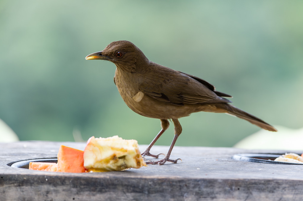 Bird feeders were everywhere, lots of action at them..Clay colored robin.