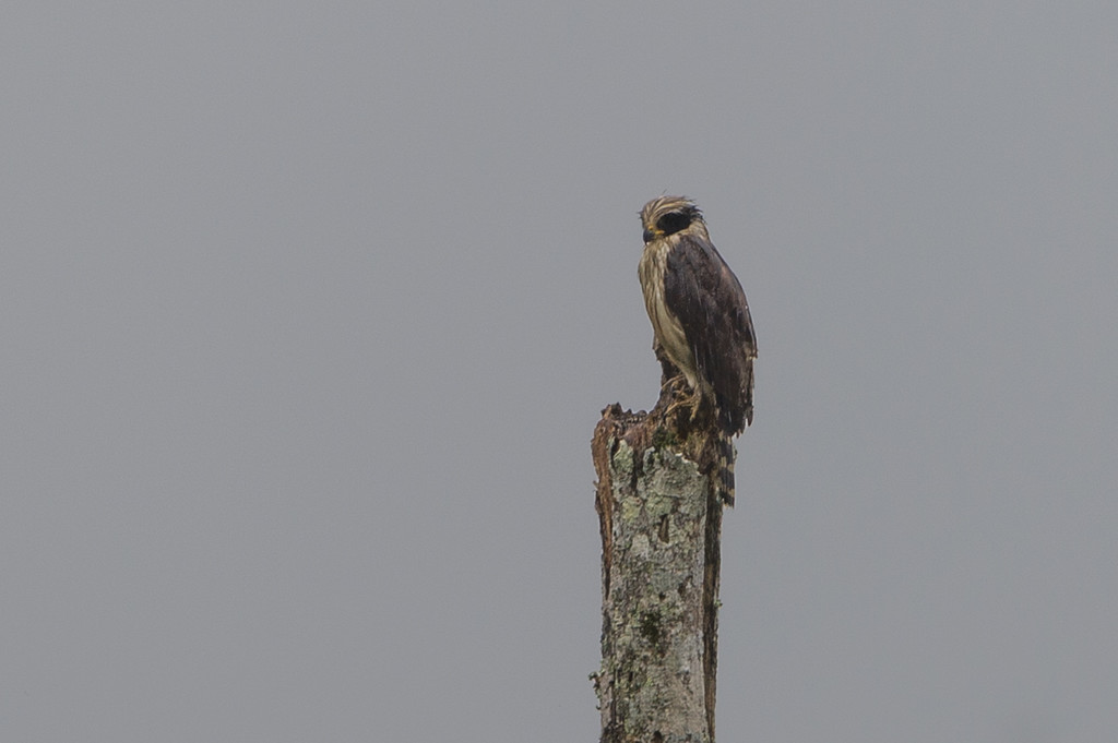 Very wet laughing falcon.