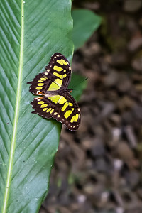 Native butterflies in the forests of Costa Rica
