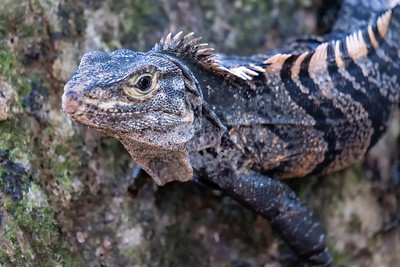 Lizards and iguanas in the Manuel Antonio National Park in Costa Rica