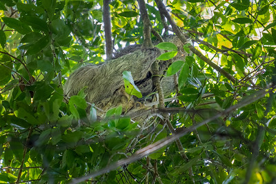 Three-toed and two-toed sloths in Manuel Antonio National Park in Costa Rica