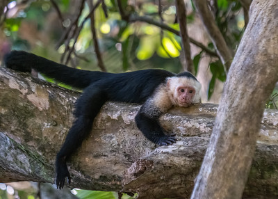 White-faced monkeys in the rain forest in Costa Rica. Manuel Antonio national Park