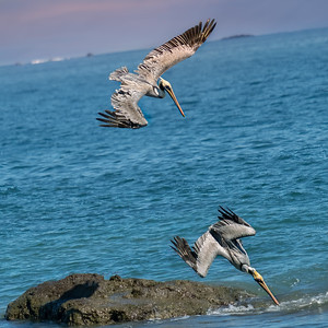 Pelicans fishing near the beach in Quepos, Costa Rica