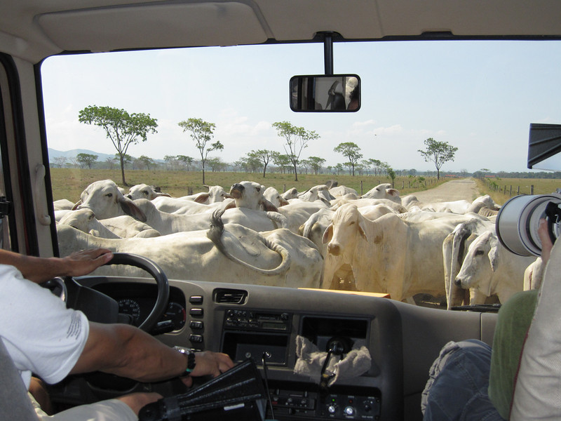 Every now and again one just has to stop for the local cattle herd