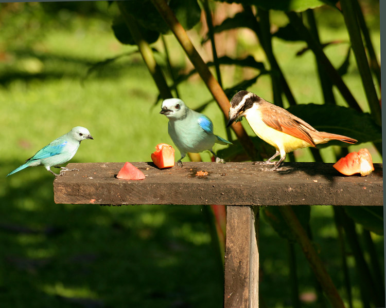 Bluebirds and friend on feeder at Volcano Lodge