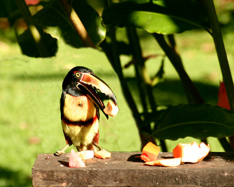 Toucan on feeder at Volcano Lodge, Fortuna, Costa Rica