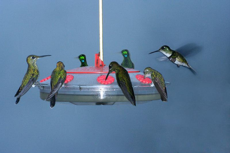 Hummingbirds and Grackles on bird feeder, Costa Rica