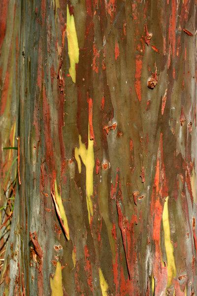 Rainbow Eucalyptus, Costa Rica