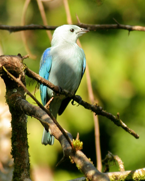 Bluebird, at Volcano Lodge, La Fortuna, Costa Rica