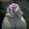 White-headed Capuchin, contemplating