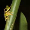 Tree frog as seen during a night hike