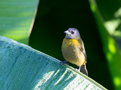 Passerini's Tanager  - Female