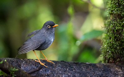 Slated-back Nightingale Thrush