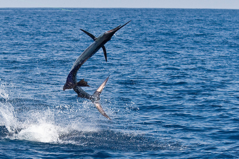 Kristin's Sailfish breaching!