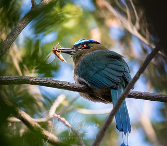 Lessen'a or Blue-crowned Motmot