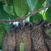 On the drive to the El Remanso Lodge, aTropical Screech Owl family