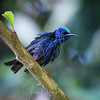 Wet Red-legged Honeycreeper