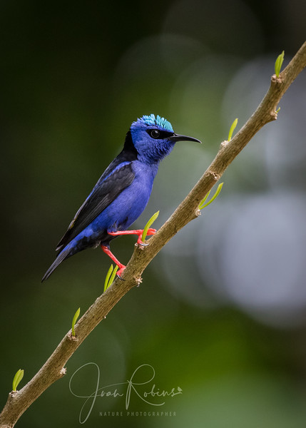 Dry Red-legged Honeycreeper