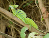Jeus Chirst Lizard