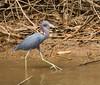 Little Blud Heron