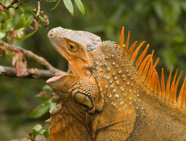tree climbing iguans