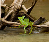 Jesus christ lizard(named such for its ab ility to walk on the surface fo the water)