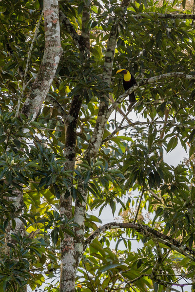 Chestnut-mandibled Toucan hiding - Costa Rica