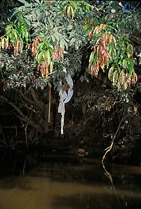 © Joseph Dougherty. All rights reserved.  Trash from a local banana plantation is seen caught in the riverside plants of a rainforest river.  The blue pesticide bags from the mature banana clusters are easily recognizable.