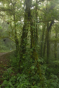 © Joseph Dougherty. All rights reserved.   Misty fog enshrouds the forest at Monteverde, where moisture is omnipresent and allows plants or mosses to grow on every conceivable surface.