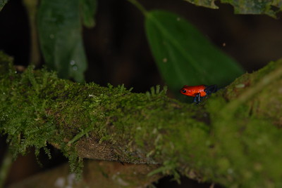 © Joseph Dougherty. All rights reserved.  Oophaga pumilio   (Schmidt, 1857)  Strawberry poison frog
