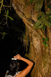 Costa Rican red-tail boa, Boa constrictor ssp. imperator, climbing a tree trunk.