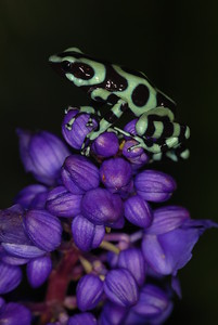 © Joseph Dougherty. All rights reserved.   Dendrobates auratus, the Green Poison Dart Frog.