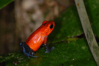 © Joseph Dougherty. All rights reserved.   Strawberry Dart Frog, Oophaga (formerly Dendrobates) pumilio.