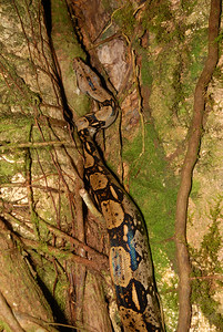 © Joseph Dougherty. All rights reserved.   Costa Rican red-tail boa, Boa constrictor ssp. imperator, climbing a tree trunk.