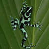Poison Dart Frogs :