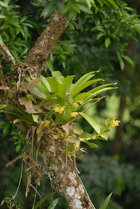 © Joseph Dougherty. All rights reserved.   Wild orchids, Epidendrum sp., in bloom; with bromeliads growing as epiphytes.  Puerto Viejo Province, Costa Rica.