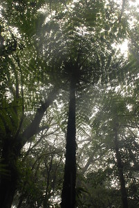 © Joseph Dougherty. All rights reserved.   Tree fern foliage spreads its crown in the misty cloud forest.